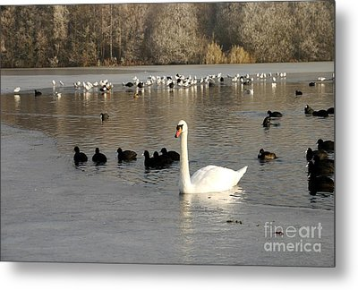 Swan And Ice Metal Print by John Chatterley