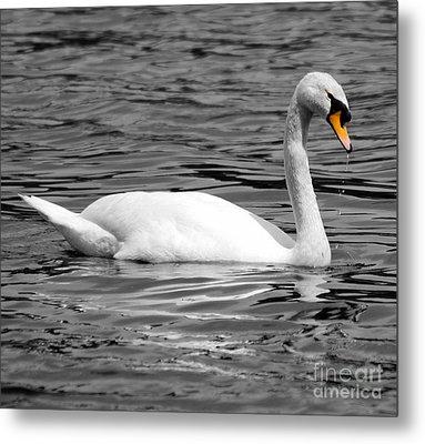 Swan On Loch Erne. Metal Print by Stephen McLean