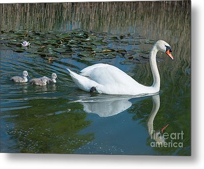 Swan With Cygnets Metal Print by Andrew  Michael