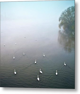 Swans In Log On River Neckar Metal Print by Ulrich Mueller