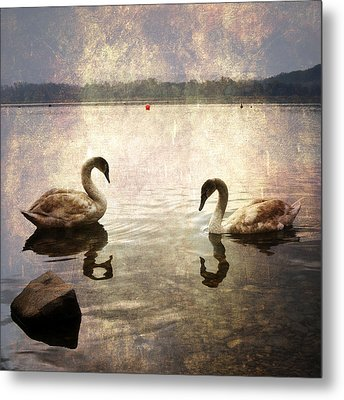swans on Lake Varese in Italy Metal Print by Joana Kruse