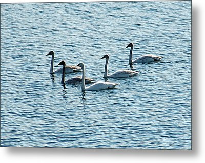 Swans Swimming Metal Print by Aimee L Maher Photography and Art Visit ALMGallerydotcom