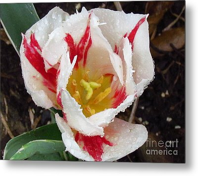 Sweetheart Tulip Metal Print