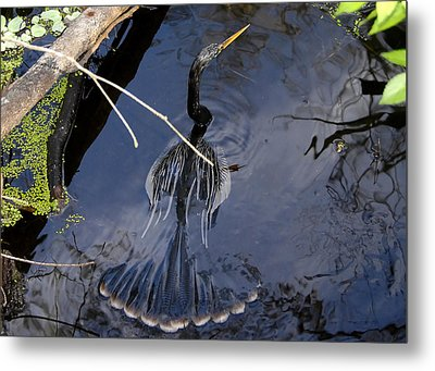 Swimming Bird Metal Print by David Lee Thompson
