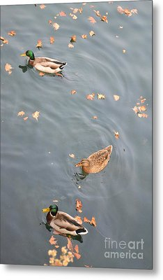 Metal Print featuring the photograph Swimming Ducks And Autumn Leaves by Kathleen Pio