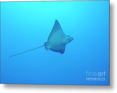 Swimming Spotted Eagle Rays Metal Print by Sami Sarkis