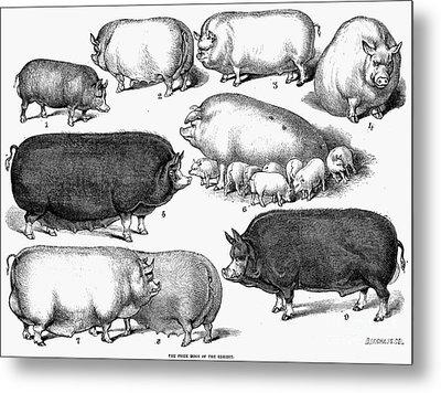 Swine, 1876 Metal Print by Granger