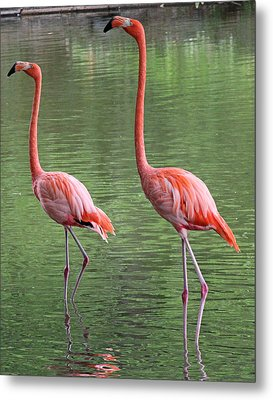 Synchronized Flamingos Metal Print by Becky Lodes