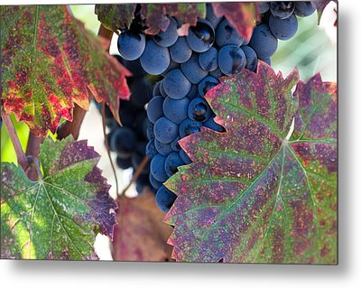 Syrah Grapes With Autumn Leaves Metal Print by Dina Calvarese