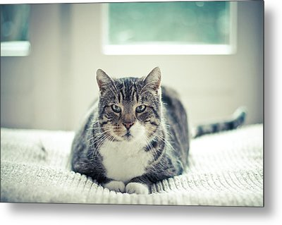 Tabby Cat Staring Straight In Camera Metal Print by Cindy Prins