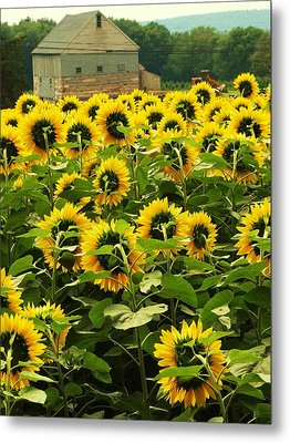 Tall Sunflowers Metal Print by John Scates