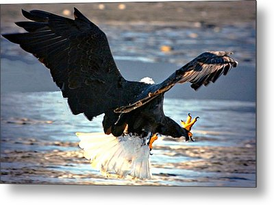 Talons Metal Print by Carrie OBrien Sibley