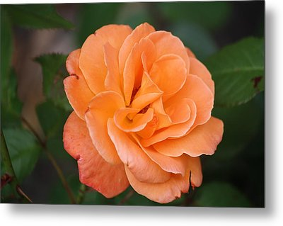 Metal Print featuring the photograph Tangerine Rose by Donna  Smith