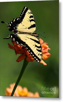Tantalizing Tiger Swallowtail Butterfly Metal Print by Sabrina L Ryan