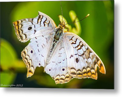 Metal Print featuring the photograph Tattered Moth by Shannon Harrington