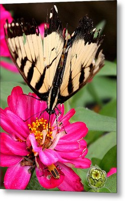 Metal Print featuring the photograph Tattered Wings Number Two by Paula Tohline Calhoun
