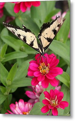 Metal Print featuring the photograph Tattered Wings by Paula Tohline Calhoun