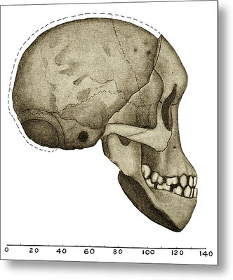 Taung Child Skull Metal Print by Sheila Terry