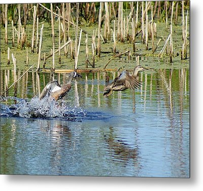Metal Print featuring the photograph Teal Taking Flight by Steven Clipperton