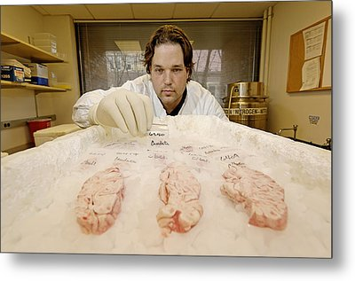 Technician Examines Human Brain Sections Metal Print by Volker Steger