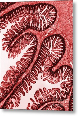 Tem Of Intestinal Villi Metal Print by Science Source