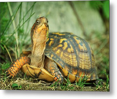 Terrapene Carolina Eastern Box Turtle Metal Print by Rebecca Sherman