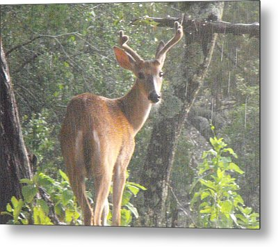 Texas Buck In The Rain Metal Print by Rebecca Cearley