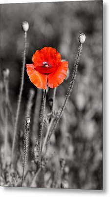 Texas Hot Poppy With Black And White Metal Print by Linda Phelps