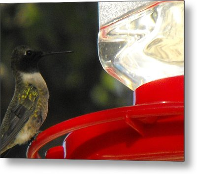 Texas Hummingbird Metal Print by Rebecca Cearley