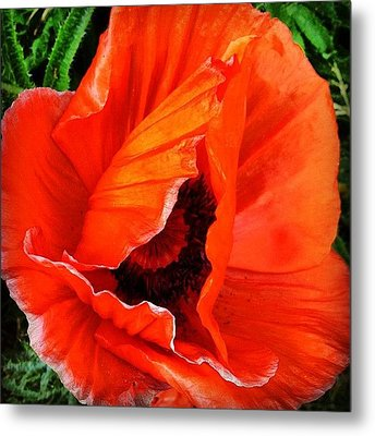 The Beautiful Icelandic Poppy Metal Print by Christopher Campbell