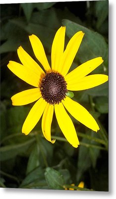Metal Print featuring the photograph The Beauty Of A Single Daisy by Shawn Hughes