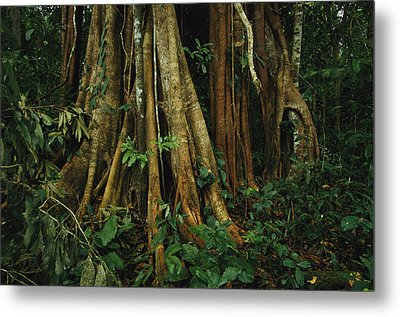 The Buttressed Roots On A Strangler Fig Metal Print by Steve Winter