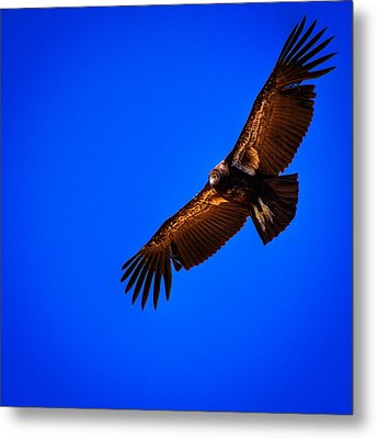 The California Condor Metal Print