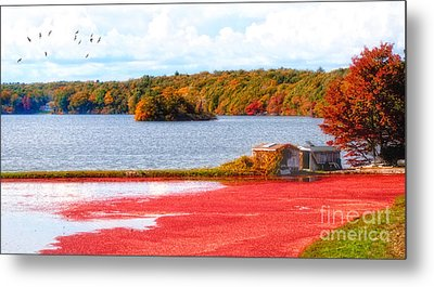 The Cranberry Farms Of Cape Cod Metal Print by Gina Cormier