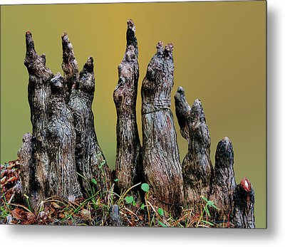 The Cypress Knees Chorus Metal Print by Kristin Elmquist
