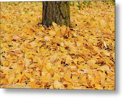 Metal Print featuring the photograph The Fall Of Ginkgo by Rachel Cohen