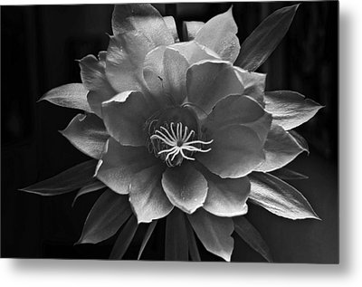 The Flower Of One Night Metal Print by Tom Bell