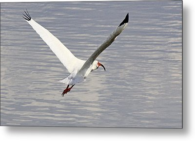 The Graceful White Ibis Metal Print by Becky Lodes