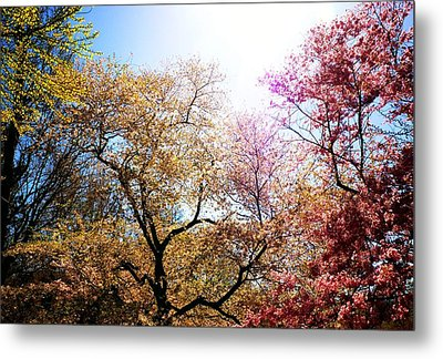 The Grandest Of Dreams - Cherry Blossoms - Brooklyn Botanic Garden Metal Print by Vivienne Gucwa