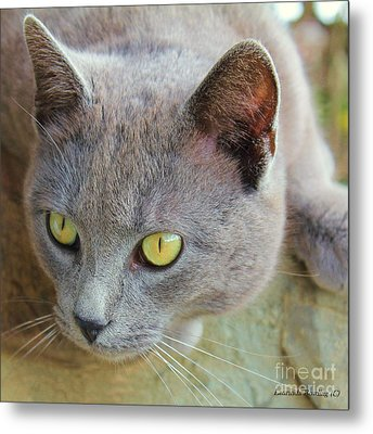 Metal Print featuring the photograph The Gray Cat by Laurinda Bowling