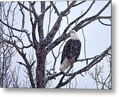 The Great American Bald Eagle Metal Print by Gary Smith