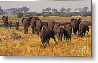 Metal Print featuring the photograph The Herd - Chobe Np Botswana by Craig Lovell