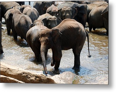 Metal Print featuring the photograph The Hurt Elephant by Pravine Chester