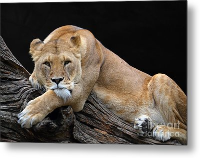 The Lioness Is Watching You Metal Print by Eva Kaufman