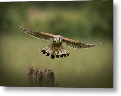 The Male Of The Species Metal Print by Andy Astbury