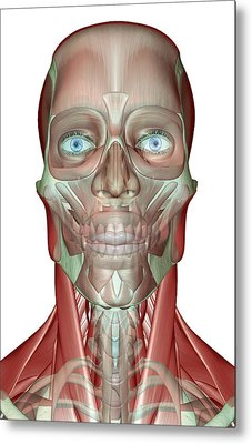 The Musculoskeleton Of The Head, Neck And Face Metal Print by MedicalRF.com