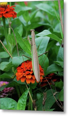 Metal Print featuring the photograph The Patience Of A Mantis by Thomas Woolworth