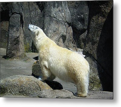 The Polar Pose Metal Print by Wendy McKennon