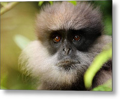 The Purple-faced Langur. Nuwara Eliya.sri Lanka Metal Print by Jenny Rainbow