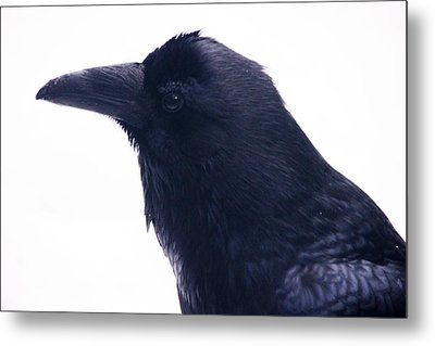 The Raven.  A Study In Black And White Metal Print by Michael Courtney